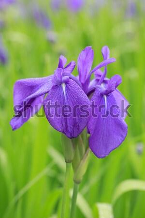 Group of purple irises in spring sunny day.  Stock photo © yoshiyayo