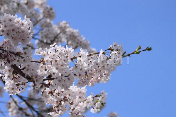 cherry blossom and  blue  sky    in  Kakunodate Stock photo © yoshiyayo