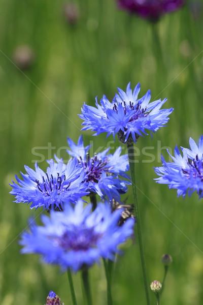 Azul campo verão folha verde Foto stock © yoshiyayo