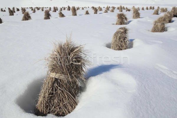 Japanese snow field  Stock photo © yoshiyayo