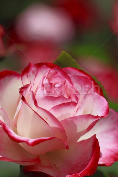 Belo rosa jardim flor beleza Foto stock © yoshiyayo