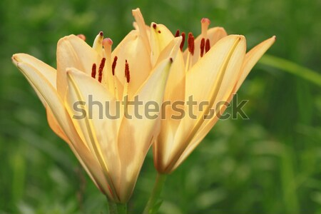 Lírio fresco campo verão natureza Foto stock © yoshiyayo
