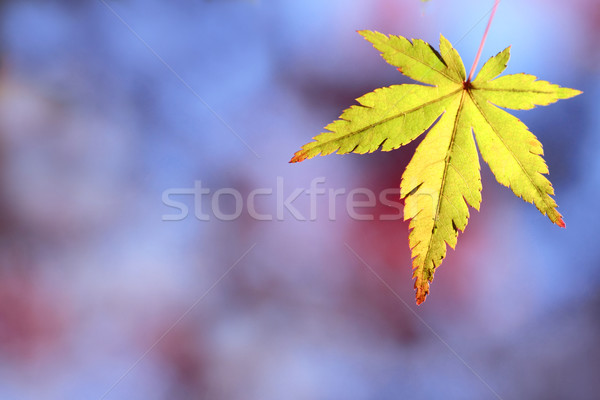 colorful  leaves Stock photo © yoshiyayo