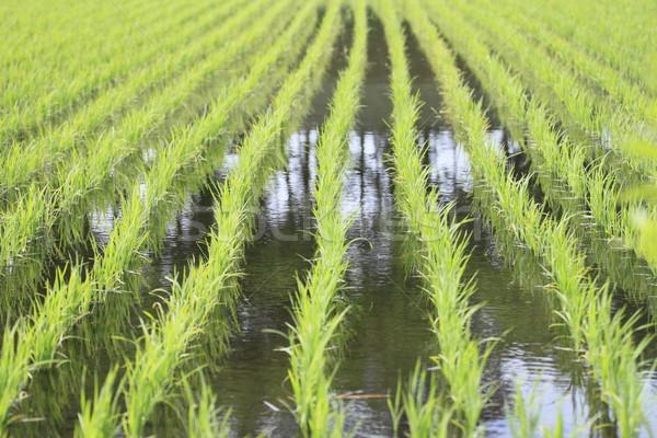 Green field, Asia paddy field  Stock photo © yoshiyayo