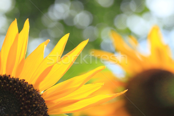 Blue sky girassóis campo verão verde girassol Foto stock © yoshiyayo