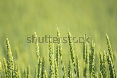 Stock photo: Fields of wheat