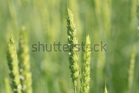 Fields of wheat  Stock photo © yoshiyayo