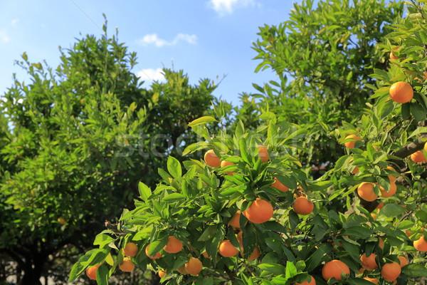 árvore Japão saúde fundo laranja Foto stock © yoshiyayo