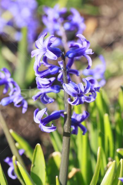 Jacinto primavera flor folha beleza Foto stock © yoshiyayo