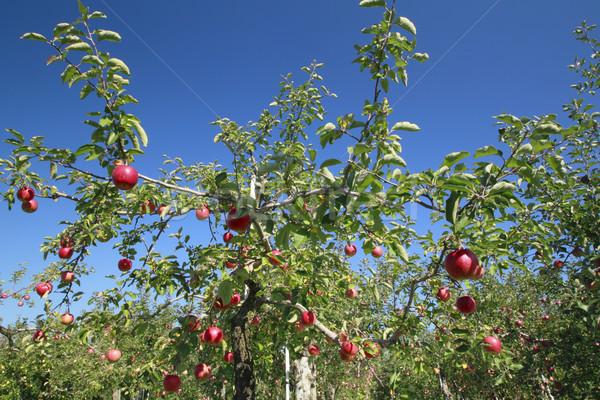 Vermelho maçãs apple tree ramo blue sky comida Foto stock © yoshiyayo