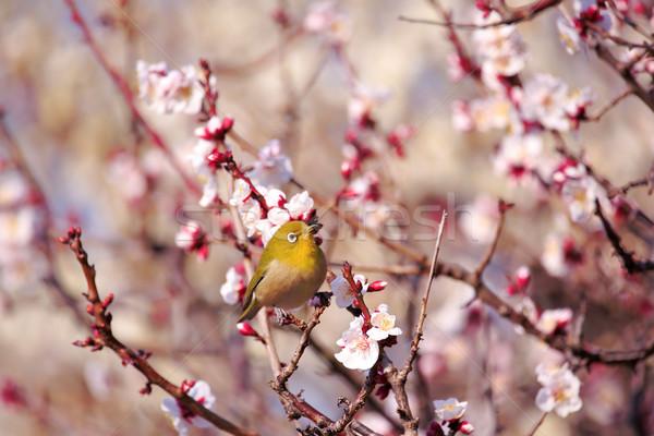 Galho japonês flores Foto stock © yoshiyayo