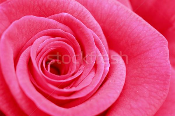 Close up  rose flower  Stock photo © yoshiyayo