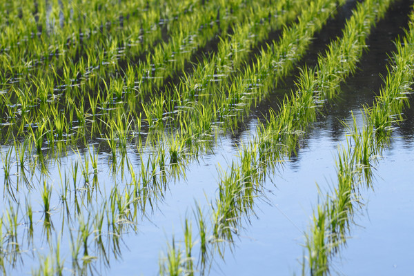 Green field, Asia paddy field  Stock photo © yoshiyayo