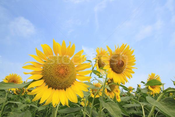 Girassóis campo verão verde girassol Foto stock © yoshiyayo