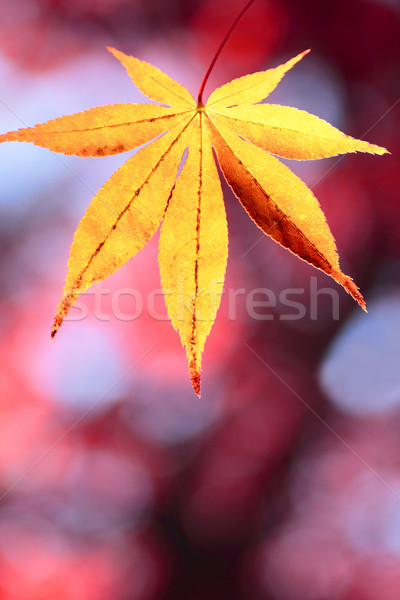colorful  leaves Stock photo © yoshiyayo