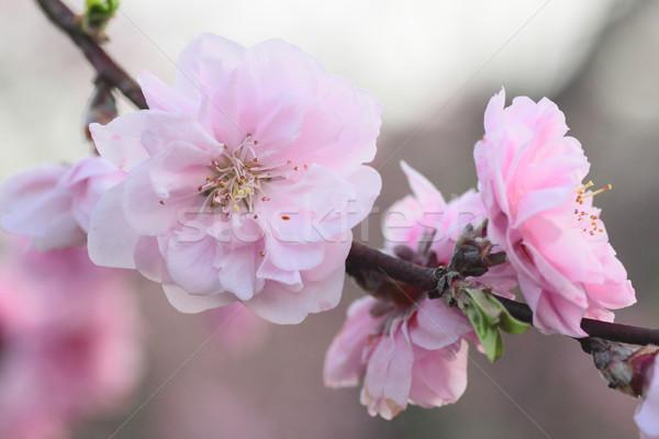 Pêssego flores foto rosado flor Foto stock © yoshiyayo