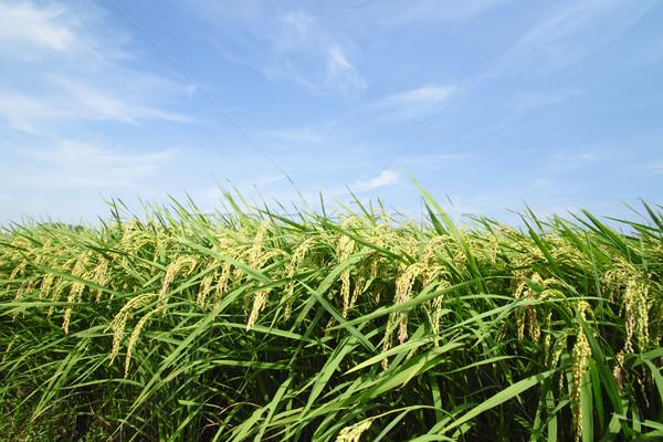 Paisagem arrozal Japão comida grama asiático Foto stock © yoshiyayo