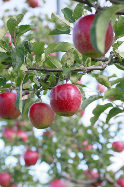 Red apples on apple tree branch  Stock photo © yoshiyayo