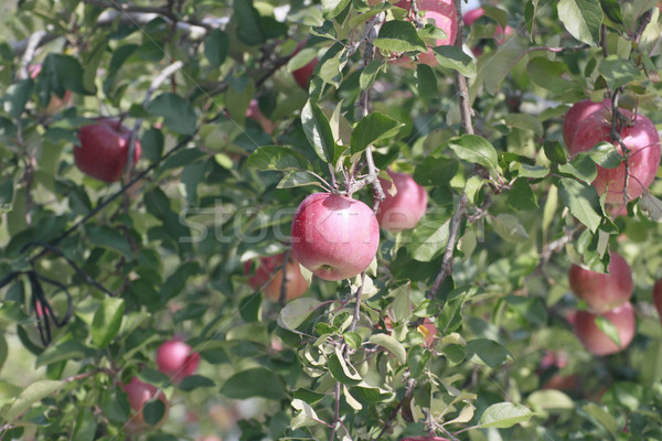 Red apples on apple tree branch  Stock photo © yoshiyayo