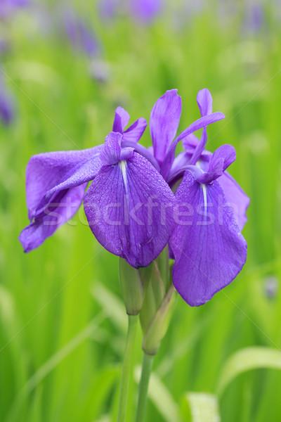 Group of purple irises Stock photo © yoshiyayo
