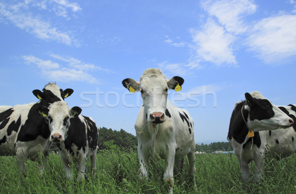 Cow in field  Stock photo © yoshiyayo