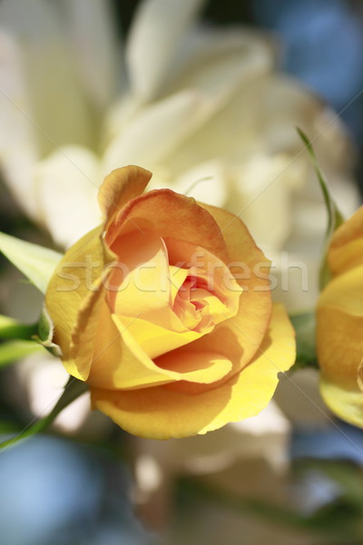 Beautiful  rose in a garden  Stock photo © yoshiyayo