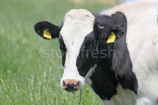 Cow in field  Stock photo © yoshiyayo