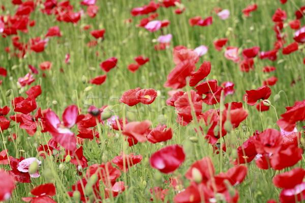 Vermelho milho papoula verde campo Foto stock © yoshiyayo