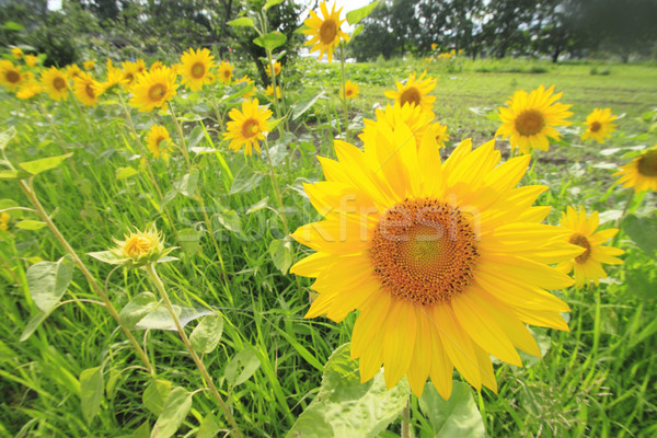 Girassol céu verão flor sol Foto stock © yoshiyayo