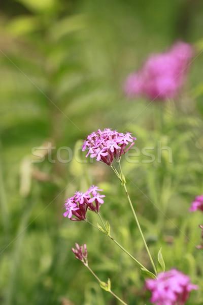 Verão grama natureza verde rosa Foto stock © yoshiyayo