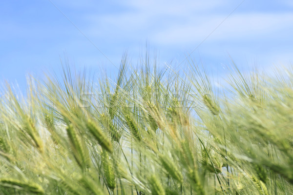 Campo de trigo blue sky céu azul fazenda trigo Foto stock © yoshiyayo