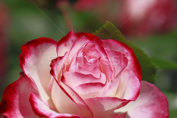 Belo rosa jardim beleza verde Foto stock © yoshiyayo