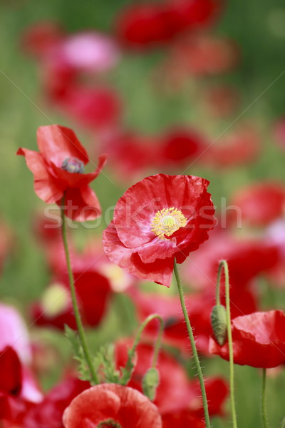 red corn poppy  Stock photo © yoshiyayo