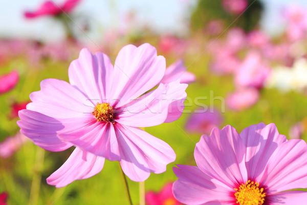 cosmos flower  Stock photo © yoshiyayo