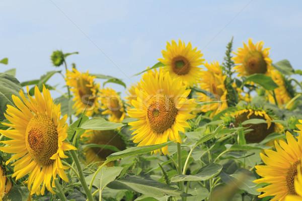 sunflowers in the field Stock photo © yoshiyayo