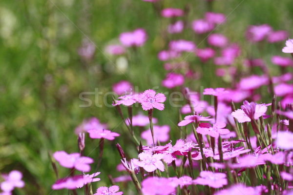 Stock photo: Pink Dianthus