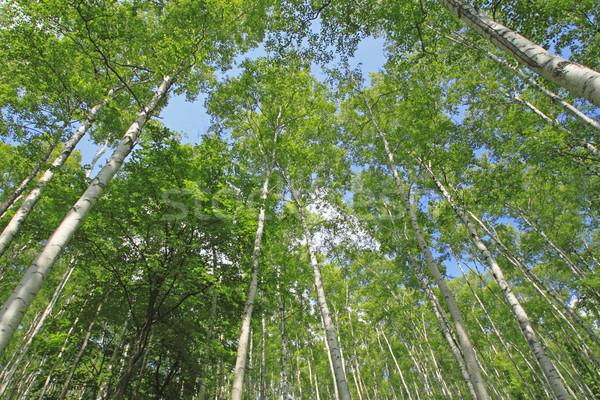 Japanese white birch Stock photo © yoshiyayo