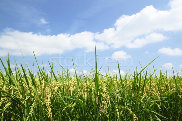 Landschap rijstveld gras asian rijst asia Stockfoto © yoshiyayo