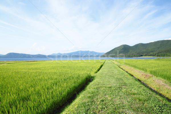 Ear of rice and lake  Stock photo © yoshiyayo