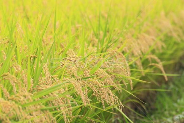 Stok fotoğraf: Manzara · gıda · çim · Asya · pirinç