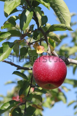 Kırmızı elma elma ağacı şube mavi gökyüzü gıda Stok fotoğraf © yoshiyayo