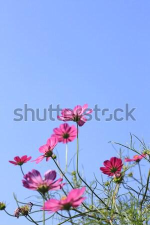 Cosmos Flowers  Stock photo © yoshiyayo