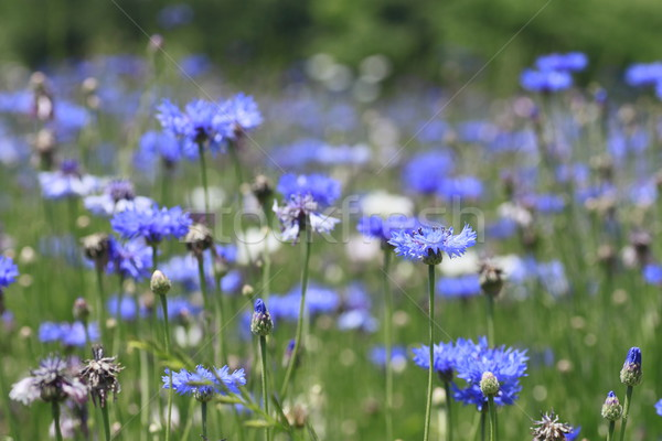 Blue cornflowers in  field Stock photo © yoshiyayo