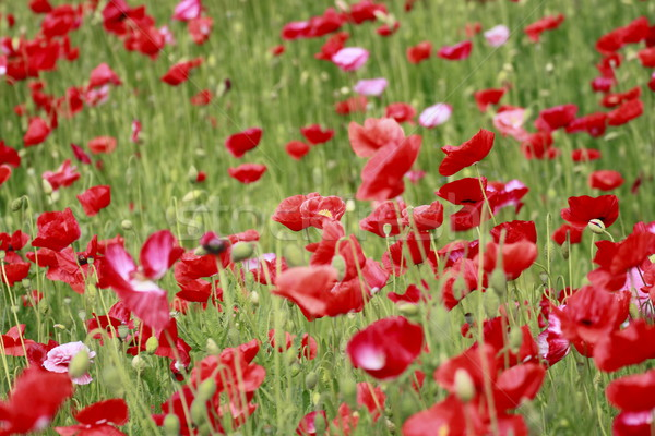 red corn poppy  Stock photo © yoshiyayo