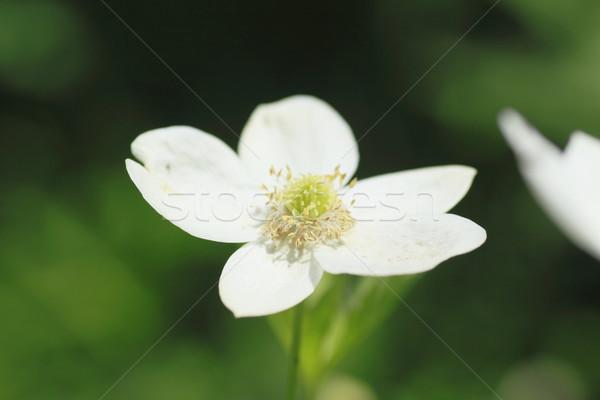 soft windflower Stock photo © yoshiyayo
