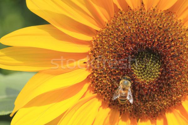 sunflower   and  a bee Stock photo © yoshiyayo