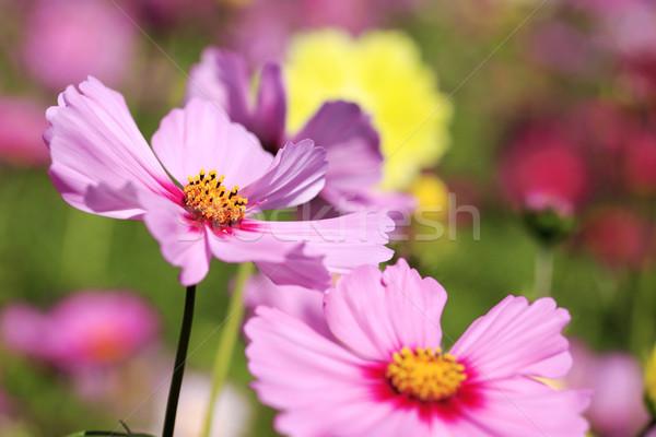 Japão flor jardim campo cor Foto stock © yoshiyayo