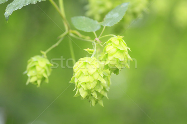 Green hops in  summer Stock photo © yoshiyayo