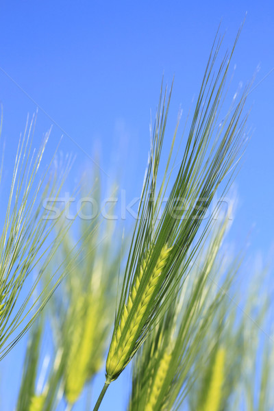 Wheat field against a blue sky  Stock photo © yoshiyayo