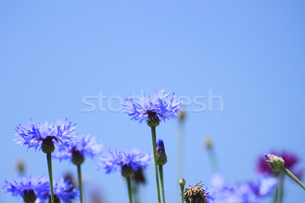 Stock photo: Blue cornflowers in  field